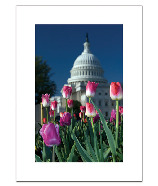 Spring Tulips at the US Capitol