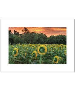 Sunflowers blank cards