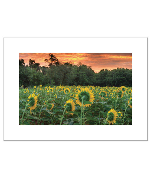 Sunflowers blank cards
